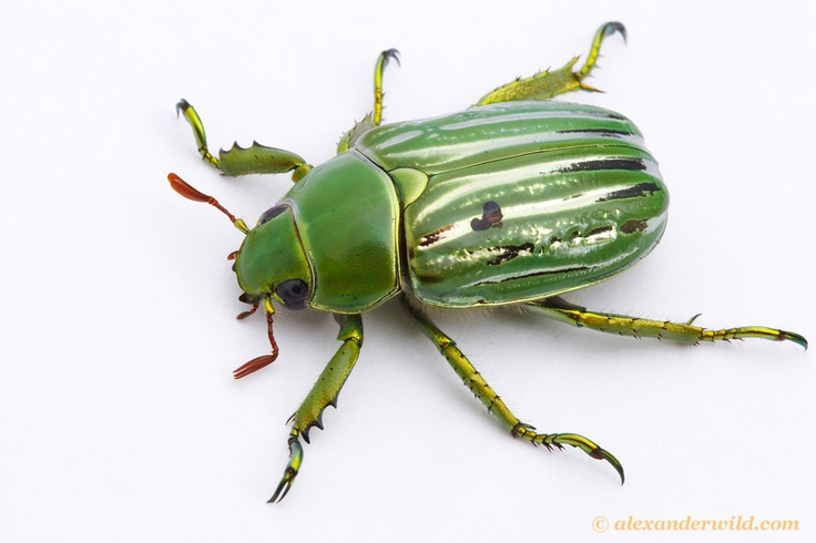 Christina gloriosa (Plusiotis glorious), the  Glorious Scarab. RUTELINAE, flower beetle, pollinated.