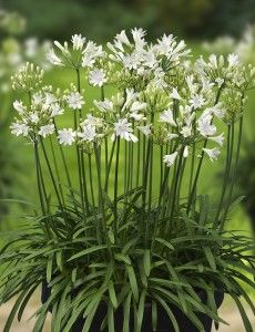 Agapanthus L'Amour d'été Blanc - Photo: Green-Works