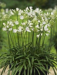 Agapanthus L'Amour d'été Blanc - Photo: Green-Works