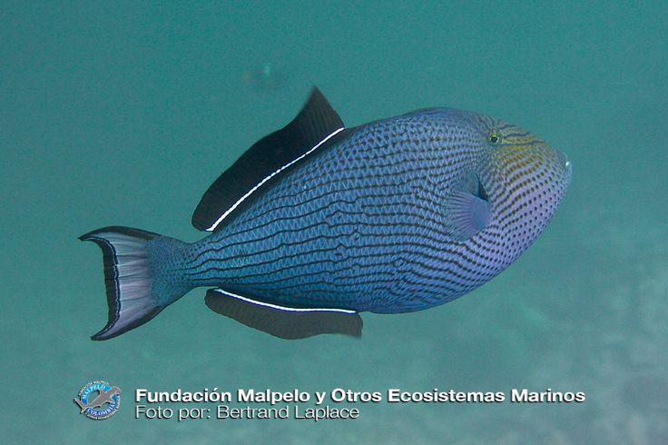 (Melichthys niger) Cochito negro. SFF Malpelo.
