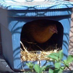 Laying hens appreciate private, comfortable nesting boxes in which to lay their precious eggs. This lens will show you how to make nesting boxes...