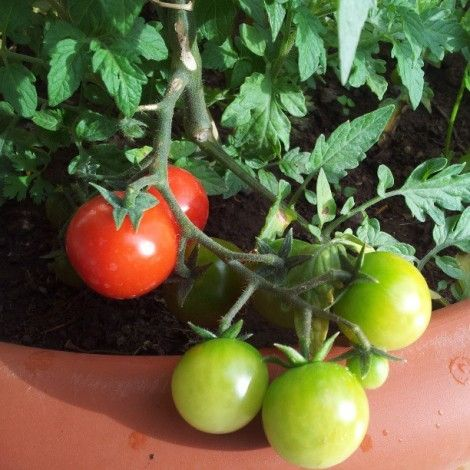 Come coltivare il pomodoro, come ottimizzare l'orto: semi, concimi e strumenti. www.bortolato.eu