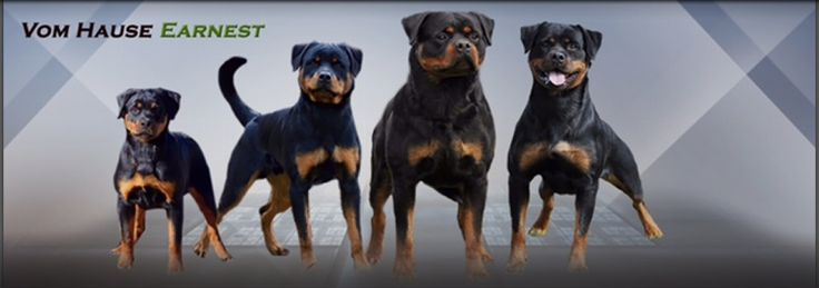 Rottweiler breeder in Atlanta Georgia - Georgia Rottweiler puppies for sale