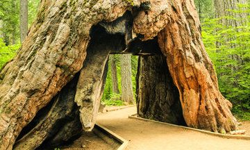 Pioneer Cabin Tree, Iconic Giant Sequoia With 'Tunnel,' Falls In Storm   The Huffington Post