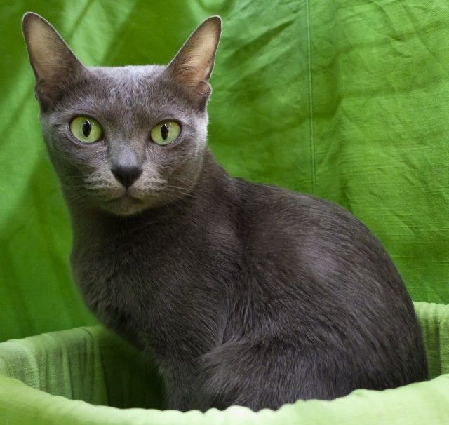 Korat Cat Breed Profile #cats #catbreeds #korat (Article from www.MetaphoricalPlatypus.com; Korat Cat Photo by Heikki Siltala, catza.net)