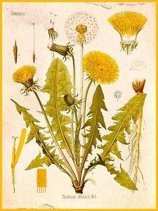 Dan Vie's dandelion the true weed, wild and free.