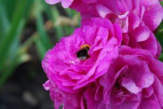 Egentligen har Henry en varmrosa, nästan röd färg, när blommorna slår ut som sedan bleknar till nyponrosrosa med tiden. På bilden ser färgen väldigt kall ut, men i verkligheten är den varmt och mjukt rosa.