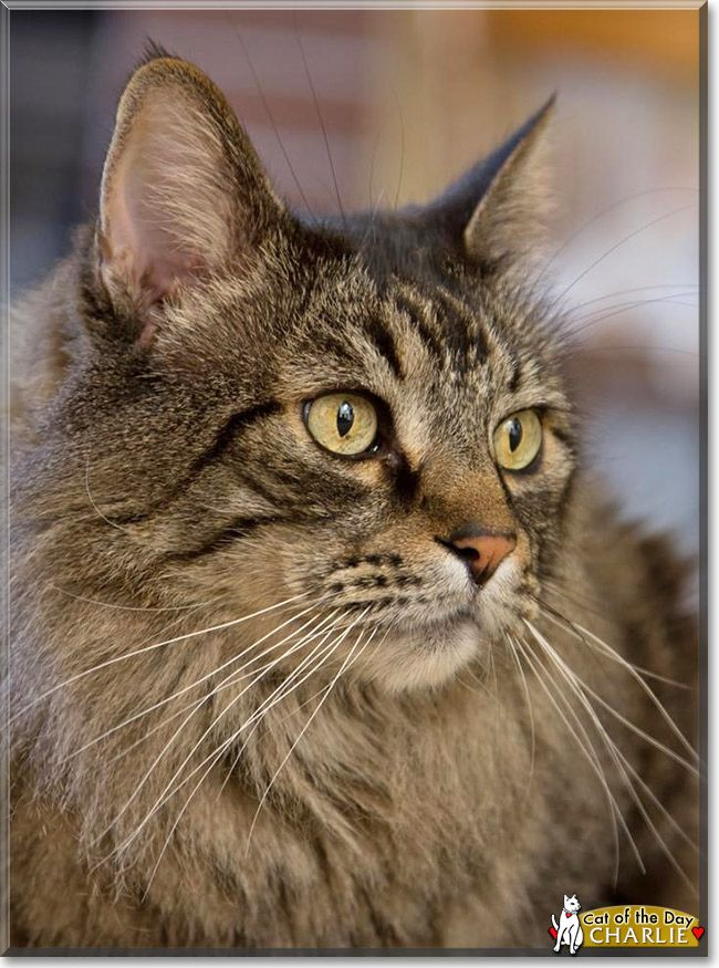 Read Charlie's story the Maine Coon mix from Morgan Hill, California and see his photos at Cat of the Day http://CatoftheDay.com/archive/2014/January/07.html .