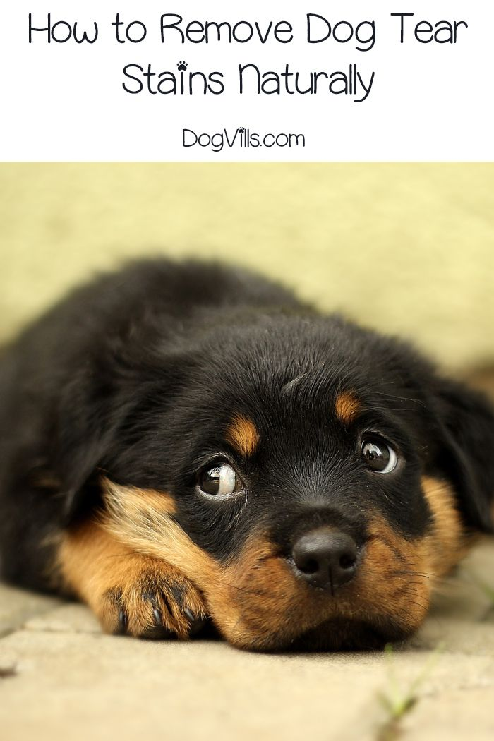How To Treat Dog Tear Stains Naturally Dogs Dog Tear Stains
