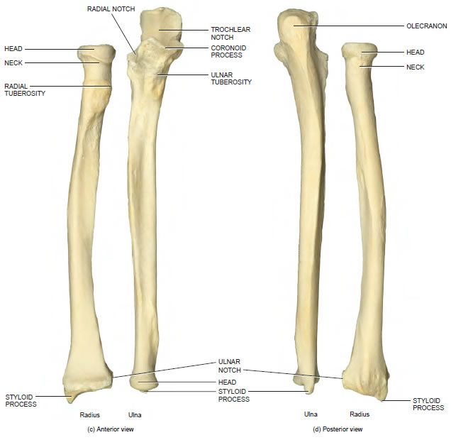 ulna-radius-2.jpg (636×620) | Bone Up | Pinterest