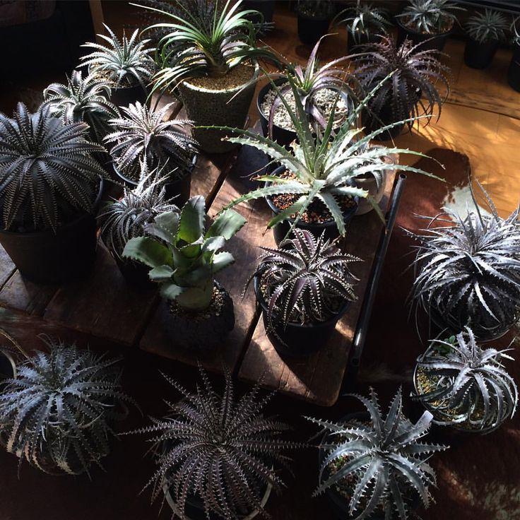 き、聞こえる!「室内マジあたっけ〜最高〜」というディッキアの声が! そして聞こえてくる気がする…「テメーいい加減にしろォォ」という奥様パイセンの声が((((;Д))))))) よしっ!こんな晴れた日は、目の巣に植物見に行ってこよっとw