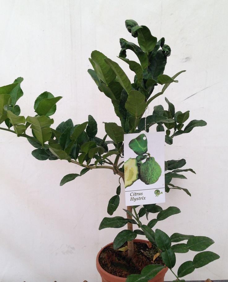Lime Hysterix, Citrus, 50cm height, 2ltr decopot