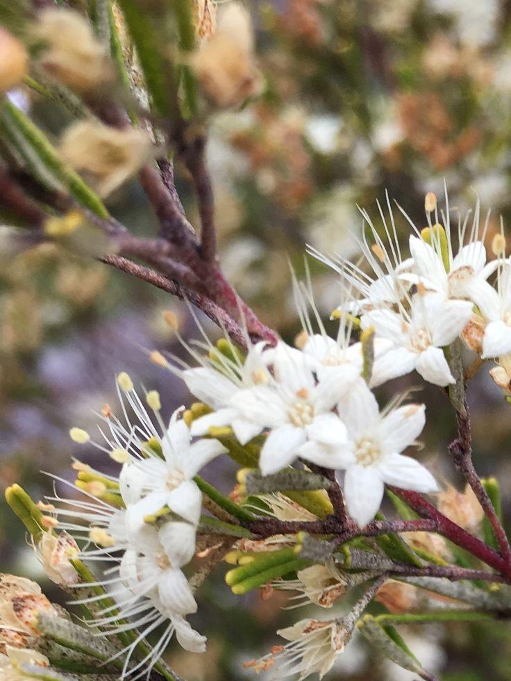 Wax flower - rare. Tasmanian SE flora. Buckland Bushland Garden