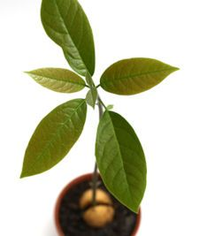 save a pit grow a tree, avocado: Grow Plant, Can, Avocado Pit, Avocado Tree, Outdoor, Avocado Plant, Garden