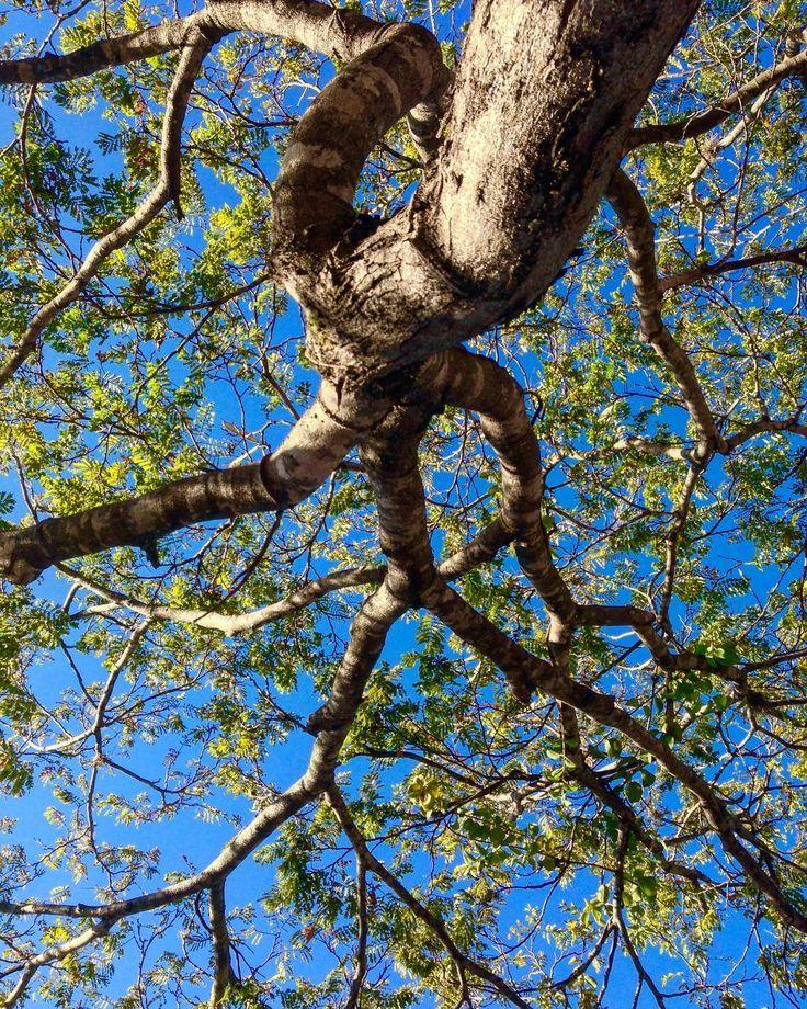 Que contraste! . . . . #brasília #bluesky #tree #autumn #igersbsb #ceuomardebrasilia #naturelovers #saved