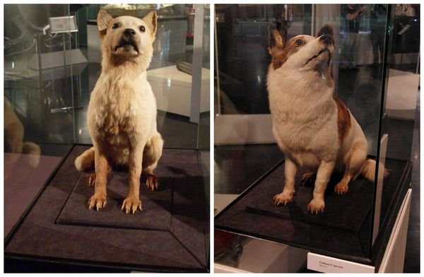 Taxidermy of Belka and Strelka the Soviet Space Dogs
