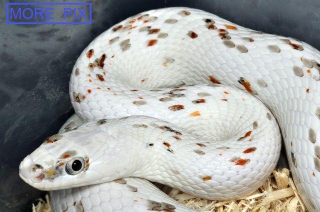 palmetto corn snake