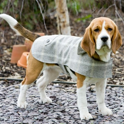Beagle-type dogs have existed for over 2,000 years,the modern breed was developed in Great Britain in the 1830s from several breeds,including the Talbot Hound,North Country Beagle,Southern Hound,& possibly the Harrier.A well mannered Beagle is friendly,alert & shows no aggression or timidity & likes to chase.This stylish hound is wearing a natural slate,check tweed coat from Mutts & Hounds that has been expertly crafted in Yorkshire woolen mills since 1837.It is suitable for town & country…