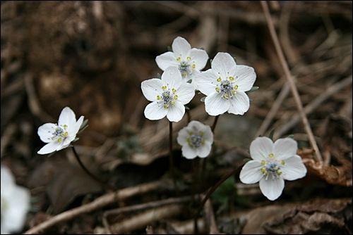 봄을 알리는 변산바람꽃
