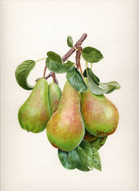 Folio illustration agency, London, UK | Carolyn Jenkins - Watercolour ∙ Painterly ∙ Botanical ∙ Horticultural ∙ Photorealism - Illustrator
