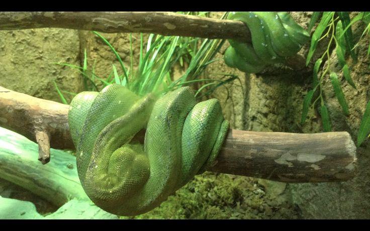 Опасный Зеленый Питон Огромный Варан Ядовитые Древолазы