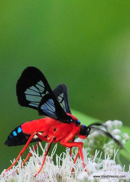 Scarlet-Bodied Wasp Moth (Cosmosoma myrodora)