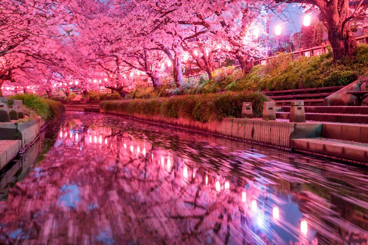 Cherry blossoms space. Foto de Wild Cat