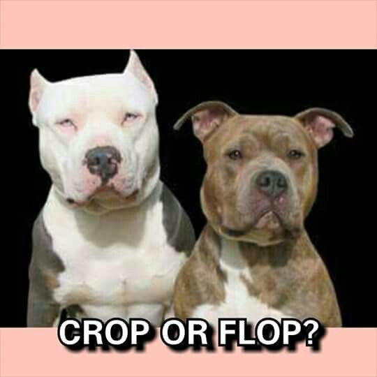 I think this depends on the Pitbull. I have a Razor Edge Blue Male with cropped ears and an American Blue Female with floppy.