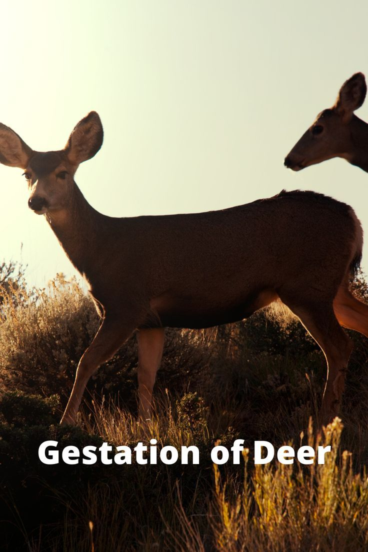 How Long Deer Pregnant : pregnant, Gestation, Deer,, Animals, Pictures,, Raising, Rabbits