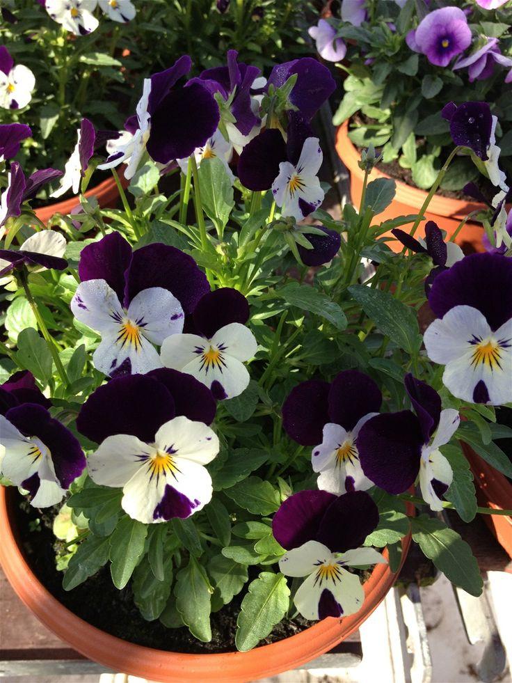 For å bestille planter;  småplanter eller større, se www.blomste-svein.com