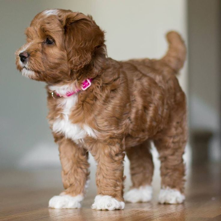 Adorable labradoodle puppy from Spring Creek Labradoodles!