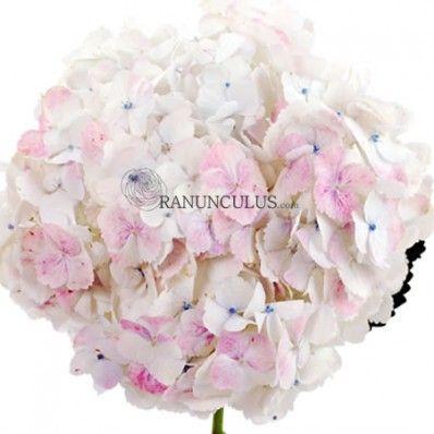 Antique White Hydrangeas