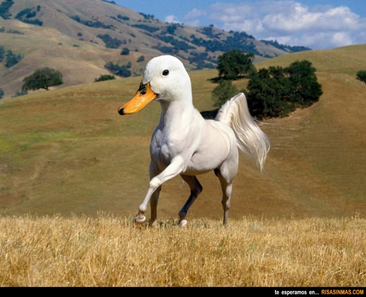 Animales curiosos: Pato-caballo.: Beautiful Horses, Photos, Animals, Wallpaper, Pictures, White Horses, Funny Animal