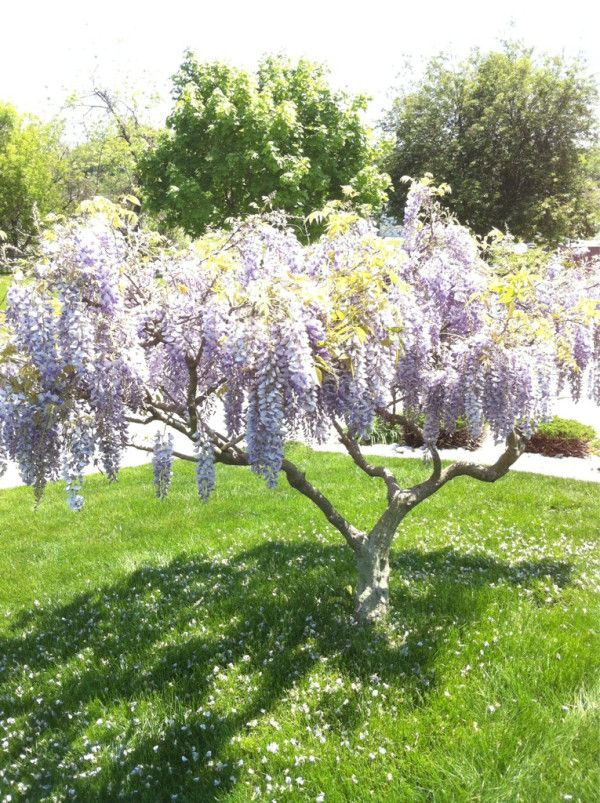 Weeping lilac tree. I need this!!! One for my side yard and one for my backyard!