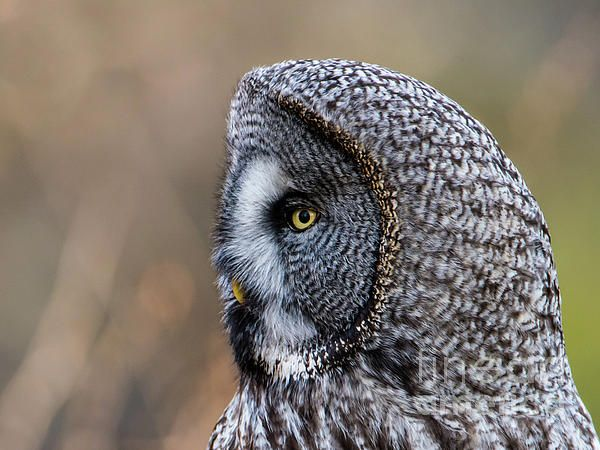 A Great Grey Owl (Strix Nebulosa) shows his beautiful profile in a closeup when perching on a roundpole with a nice defocused background.