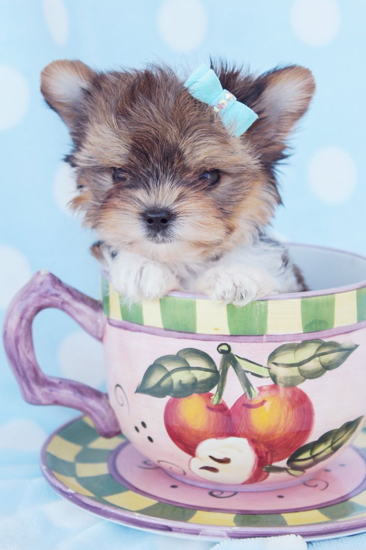 Teacup Parti Yorkies For Sale by TeaCups Puppies