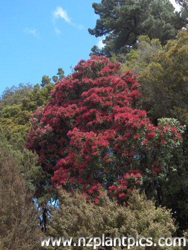 Metrosideros robusta tree