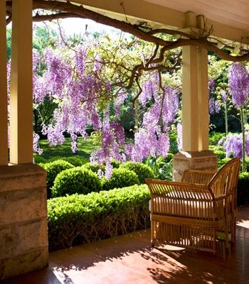 Wisteria Flowers hang from a backyard patio, where beauty can be enjoyed.