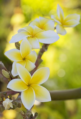 These are plumeria. When we visited Hawaii, the smell of the plumeria was everywhere.  It's like the softest, most beautiful perfume you've ever smelled.