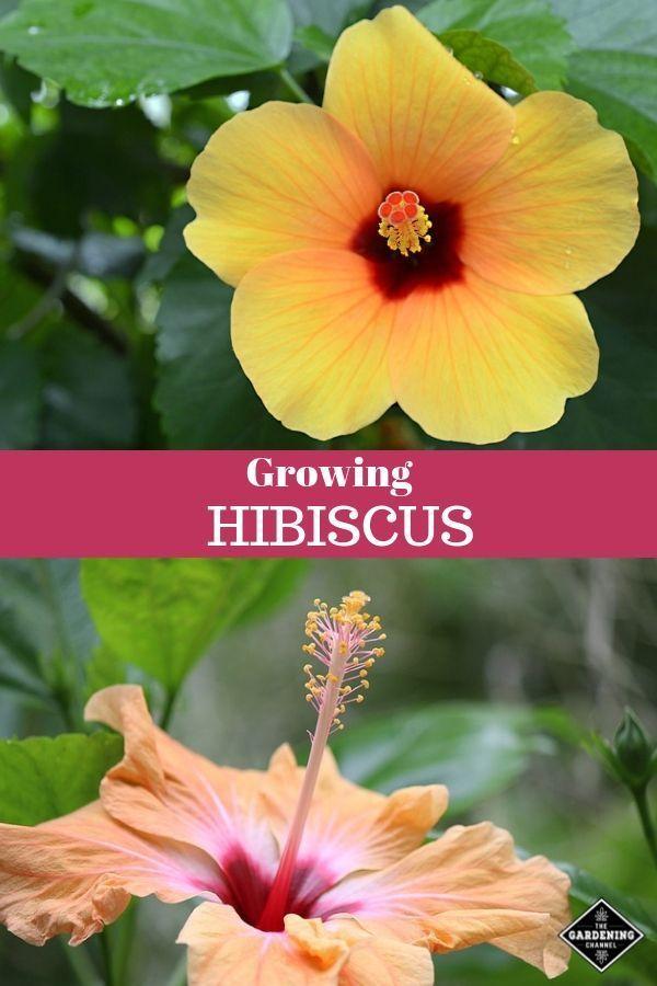 How To Grow Hibiscus Hibiscus Plant Growing Hibiscus Hibiscus Garden