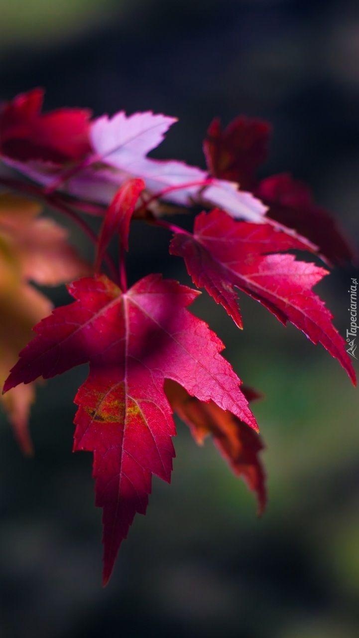 Czerwone Jesienne Liscie W Rozmytym Tle Plants Red