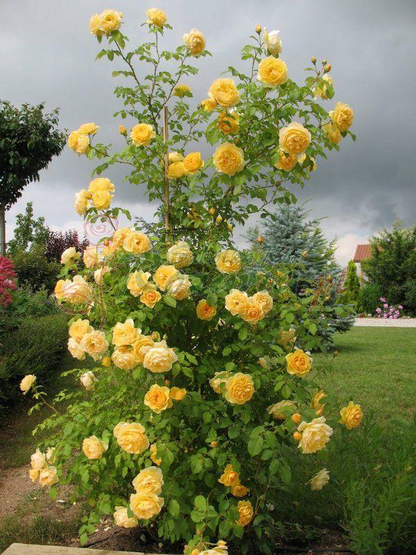 żółte róże angielskie Lemon Parody