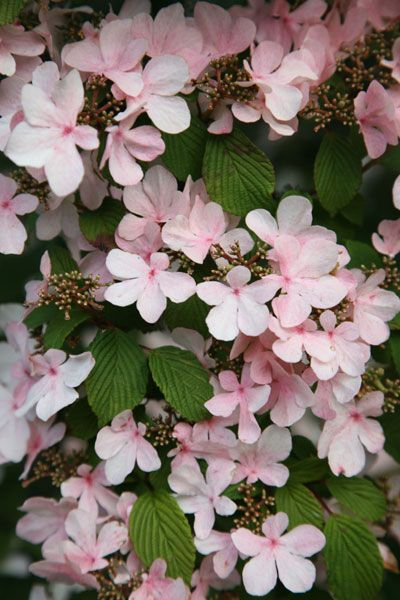 Japanese snowball bush Viburnum plicatum 'Pink Beauty' - a great choice for a Japanese-styled garden