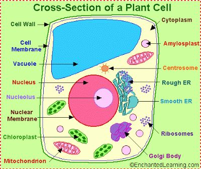 1d Animal Cell Diagram Block And Schematic Diagrams