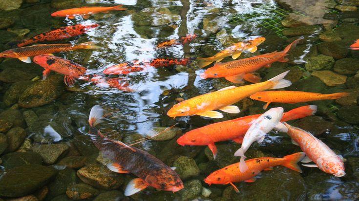 Koi-Fisch Hanako: 226 Jahre-Der älteste Fisch der Welt ist ein Zierfisch aus Japan. Der Koi-Karpfen wurde 226 Jahre alt. Hanako wurde – fünf Jahre vor Mozart – im Jahr 1751 geboren und starb 1977. Noch im Jahr 1966 veröffentlichte Hanakos letzter Besitzer, Dr. Komei Koshihara, die Geschichte seines Kois, den er von seiner Großmutter geerbt hatte. Das Alter des Fischs wurde anhand der Ringe auf seinen Schuppen bestimmt – zu diesem Zeitpunkt 215 Jahre. Der Koi ist eine spezielle Zuchtform des…