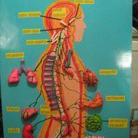 Maqueta del sistema nervioso central  Elaborado de ceramica    Cuál es la función del sistema nervioso central   El sistema nervioso se divi...