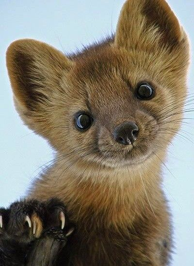 Pine Martens Happen to Be Shockingly Cute.