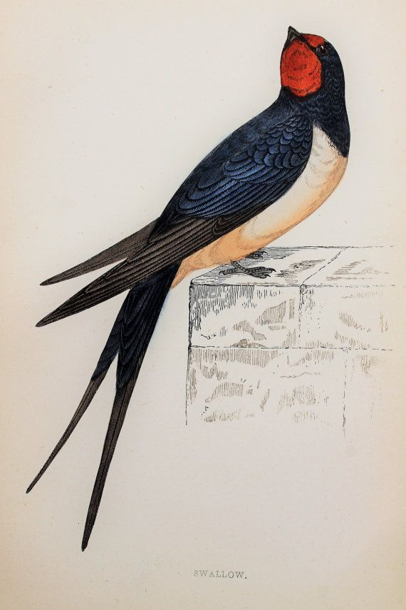 Swallow. Original 1800s Antique Hand Coloured by PaperPopinjay, $12.00