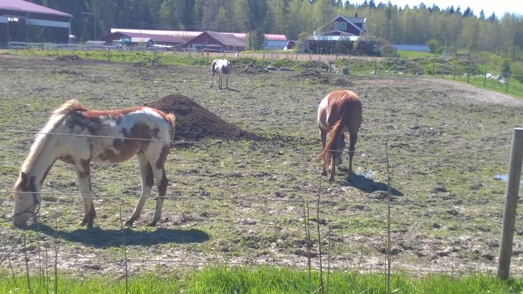 The horses in the pasture