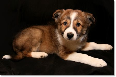 Border Collies puppies for sale in Kentucky (KY) Hondjes